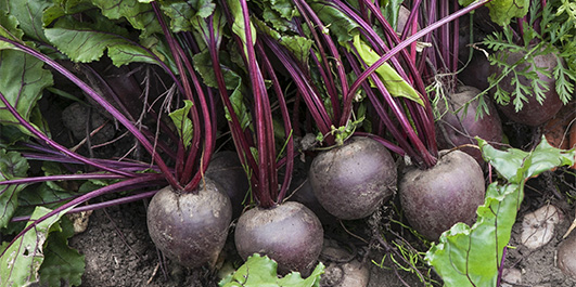 Beetroot – Superfood