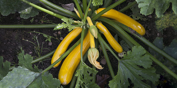 Courgettes – You can almost watch 'em growing